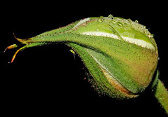 Rosa branca... (Zéza Lemos) Tags: flores insectos portugal water rose água canon natureza natur flor chuva rosa jardim amizade algarve rosas amistad vilamoura mygearandme mygearandmepremium ringexcellence