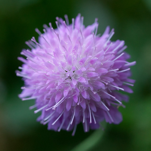 418/1000 - Scabious by Mark Carline