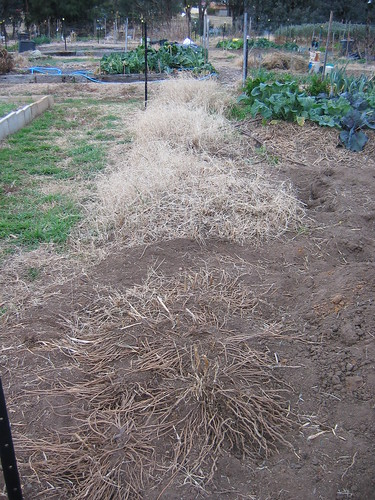 Weeding the asparagus bed