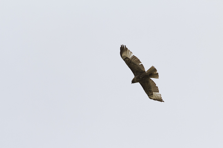 061011_northernGroshawk