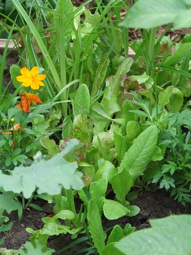 Mixed lettuce and orange cosmos