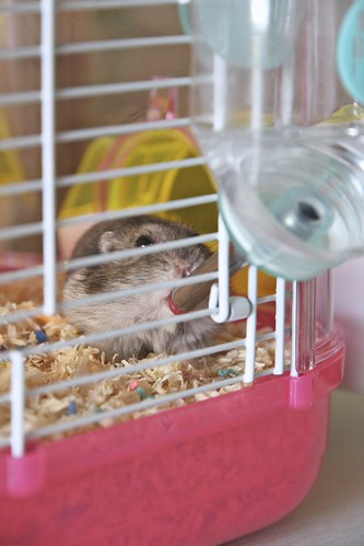 Hamster G drinks too much water