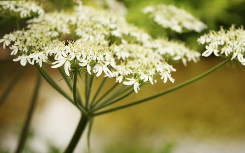 Some sort of umbelliferous flower by Helen in Wales