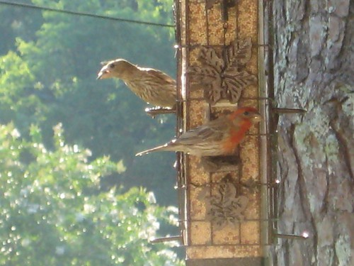 House Finches: June & Early July 2011