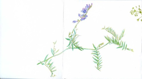 wildflower - vicia cracca