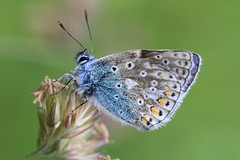 A Dent In The Bodywork (Chris*Bolton) Tags: ireland flower nature butterfly insect ngc wing butterflies dent wicklow soe commonblue blueribbonwinner supershot rathdrum bej golddragon abigfave anawesomeshot theunforgettablepictures theperfectphotographer goldstaraward natureselegantshots artofimages onlythebestofnature