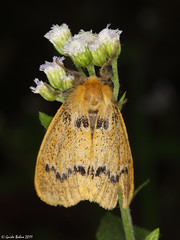 moth from mountain rainforest of W-Java - indet. (gbohne) Tags: closeup canon butterfly insect indonesia java rainforest nocturnal flash moth insects lepidoptera jakarta moths tropical insekt animalia arthropoda insekten schmetterlinge schmetterling unidentified insecta regenwald halimun nachtfalter pterygota taxonomy:class=insecta taxonomy:order=lepidoptera taxonomy:phylum=arthropoda taxonomy:subclass=pterygota taxonomy:superfamily=noctuoidea geo:country=indonesia 100mmf28canon taxonomy:subphylum=hexapoda geo:region=asia taxonomy:suborder=glossata