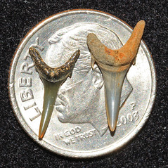 Micro Shark Teeth (Fossiltoothpic) Tags: macro animal animals canon tooth fossil shark teeth paleontology micro prehistoric extinct fossils sharkteeth cretaceous sharktooth microfossil 100mmmacro sandtiger carcharias canoneos7d fossilsharktooth fossiltooth fossilteeth odontaspis