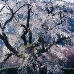 Cherry blossom Glow (HarQ Photography) Tags: japan spring nara sakura cherry sony a900 sal135f18z 又兵衛桜 本郷の瀧桜