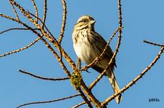 Song Sparrow (jt893x) Tags: bird nikon sigma sparrow songsparrow melospizamelodia 150500mm d7000