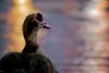Duck . (⌯ ̟՝˻ п̵м̱ọ̯͡໐яྀα ˺ ໋, ৩՞) Tags: light lake color water colors canon lights duck colorful dof d dream 600 doha qatar بطة t3i d600 qtr قطر الدوحة 600d ameera دوحة q6r أميرة بحيره كانون amoora بط بطه اميرة اموره امورة اميره عزل أمورة أميره أموره