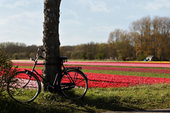 Dutch bicycle and a tulip field near Haarlem, the Netherlands (Simon Christiaanse) Tags: flowers holland haarlem colors dutch field bike bicycle landscape spring europe tulips nederland thenetherlands plantation bulbs hillegom vogelenzang dezilk flickraward5 simonchristiaanse