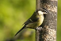Great Tit UK... (Adam Swaine) Tags: uk england bird english nature birds gardens canon tits wildlife feathers seeds feeders greattit 2014 swaine
