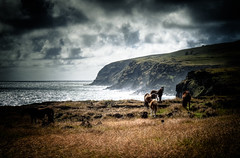 Horses on the Pacific