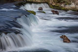 Three Bears at Brooks Falls