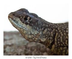 Lagarto Arboreo (aqualouco) Tags: lagarto wildlife macrophoto efs55250mm canont5i lizard reptil