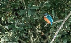 9Q6A6750 (2) (Alinbidford) Tags: alinbidford alancurtis brandonmarsh kingfisher greyheron heron kestrel