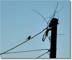 Ol camarada! T olhando o que? / Hello Comrade! .......  * 1 ano de Flickr * / * 1 year Flickr * \\ **** EXPLORE **** (Marina Linhares) Tags: sky bird nature poste natureza pssaro cu pole wires fios nikond3000 mygearandme ringexcellence
