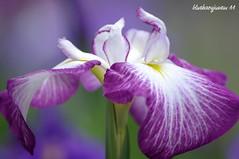 Blood Iris (bluehazyjunem) Tags: iris summer season blood day cloudy rainy picnik tamron70300 jindaibotanicalpark excellentsflowers
