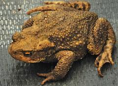 A friend in the greenhouse. (bobbrooky) Tags: macro closeup nikon friend warts toad amphibians creatures anura d700 sigma180f35macro parotoidglands