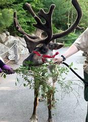 Reindeer_61811