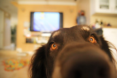 upclose and personal (sprinkle happiness) Tags: dog daisy upcloseandpersonal bugeyes bassethoundaustralianshepherdmix