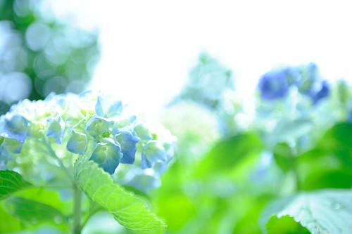 フリー写真素材, 花・植物, 紫陽花・アジサイ,