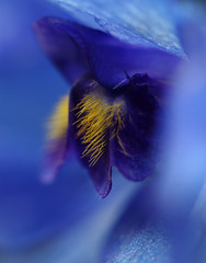 Beard Of Gold (AnyMotion) Tags: flowers blue plants macro nature floral colors garden gold colours blossom frankfurt natur pflanzen blumen blau makro blte garten delphinium larkspur farben rittersporn 2011 makroaufnahmen anymotion canoneos5dmarkii 5d2 vlkerfrieden