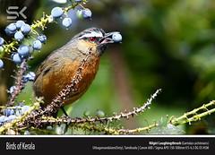 Nilgiri Laughingthrush  (Garrulax cachinnans) (suhaaz Kechery) Tags: dk ooty garrulaxcachinnans nilgirilaughingthrush birdsofkerala sigma150500 uthagamandalam canond60d suhaazkecheryphotography nilgirilaughingthrushgarrulaxcachinnans