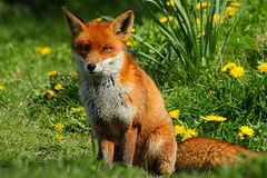 'Flo' and Spring flowers (crowlem) Tags: flowers beautiful animal mammal spring fox bwc flo vixen dandelions redfox vulpesvulpes britishwildlifecentre canonef70300mmf456isusm canoneos7d