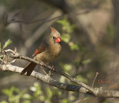 Northern Female Cardinal (Diane G. Zooms) Tags: nature birds cardinal femalecardinal northerncardinal wildbirds coth thegalaxy specanimal fantasticnature coth5 sunrays5