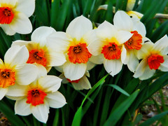 My Twelfth Flower Of Spring, Vibrant Orange, White, And Yellow Daffodils! (LostMyHeadache: Absolutely Free *) Tags: flowers orange white green nature beauty grass yellow garden spring nikon earth blossoms soil stems blooms delicate 1001nights davidsmith calgaryalbertacanada
