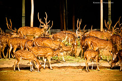 300 (Kanishka **) Tags: trip wild india animal animals canon fun zoo wildlife deer karnataka mysore wildanimals kanishka wildlifephotography 550d deergroup