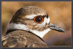 Killdeer (kootenaynaturephotos.com) Tags: birds bc killdeer wilmer charadriusvociferus columbiavalley