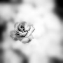 Rose (Saraia77) Tags: deepavali ourtime closeuplens hasselblad500cm ilfordpanfplus50 contemporaryartsociety innamoramento planar8028 oracope agorathefineartgallery
