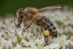 Feeding Honeybee (steb1) Tags: macro insect feeding bee honeybee hogweed hymenoptera apismellifera mpe65mm aculeate