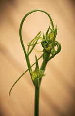 Twirl (Carla Mountain Spirit) Tags: twirl chuchu stem chayote vegetable nature racket macro carlafreire