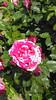 Rose in Balchik botanical garden, Bulgaria (cod_gabriel) Tags: bulgaria balchik balcic dobrogea dobruja dobrudja cadrilater botanicalgarden grădinăbotanică gradinabotanica rose trandafir