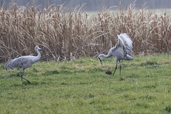 And when you get the choice to sit it out or dance - I hope you dance.... (Laura Rowan) Tags: sandhill crane sandhillcrane jasperpulaski bird birding indiana dance canon rebel jisforjasperpulaski