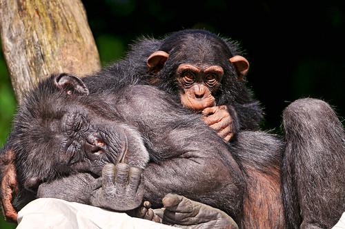 フリー写真素材, 動物, 哺乳類, ヒト科, チンパンジー, 寝顔・寝ている, 家族・親子(動物),