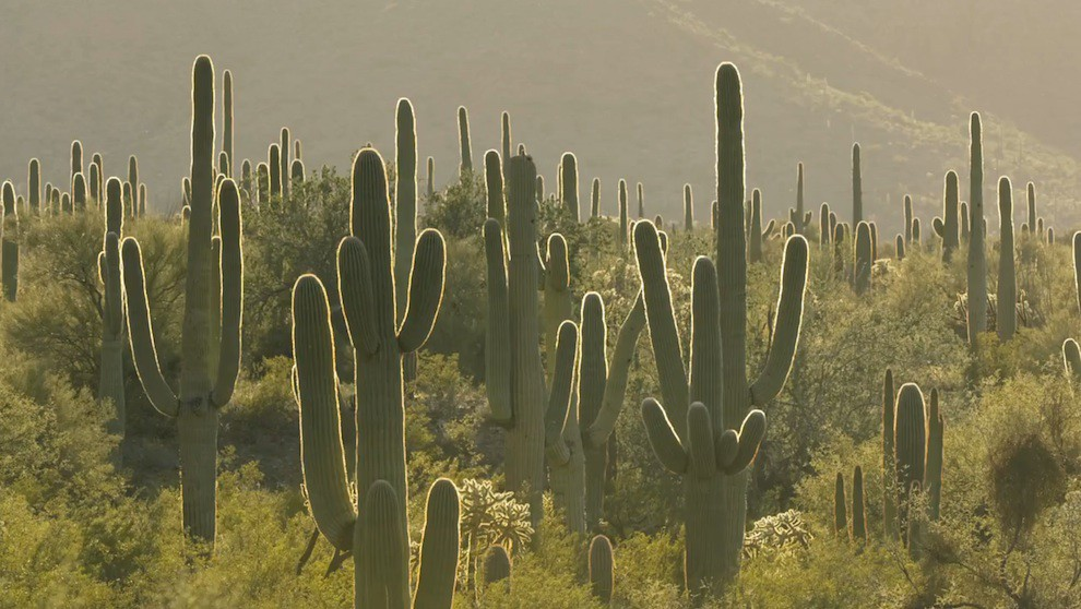 Cactuses at the US_Mexico wall borderlands