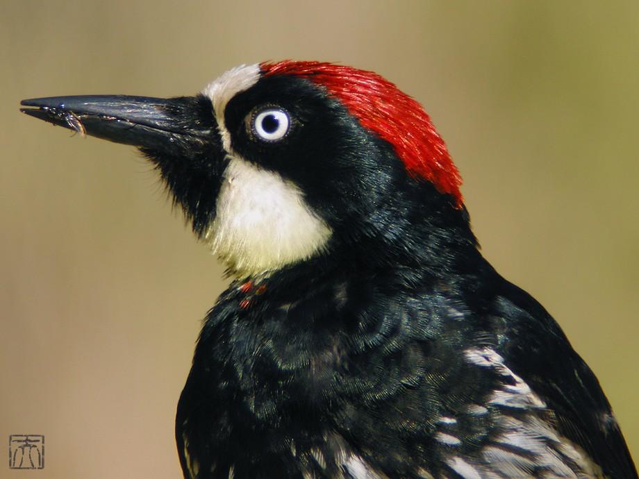 Acorn Woodpecker20091