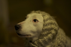 Sheepdog (Timoleon Vieta II) Tags: dog fashion bokeh expression sheepdog explore selftaught getty mansbestfriend petportrait excellence explored swedishmodel timoleon