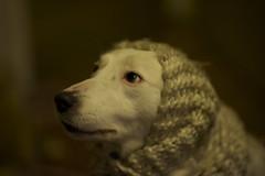 Sheepdog (Timoleon Vieta II) Tags: dog fashion bokeh expression sheepdog explore selftaught getty mansbestfriend petportrait excellence explored swedishmodel timoleon