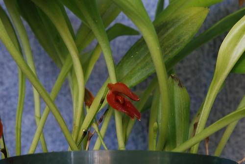 Pleurothallis sigmoidea