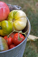 Long Gone (Chiot's Run) Tags: tomato tomatoes harvest heirloom organic heirloomtomatoes organicgardening ediblegardening growyourown organicheirloomtomatoes organictomatoes galvanizedbucket colorfultomatoes colorfulheirloomtomatoes tomatoesinabucket growyourownheirloomtomatoes