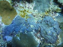 綠島珊瑚爆發黑海綿疾病