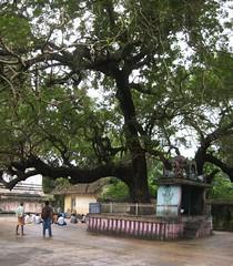 Sthala Vruksham 1 (Raju's Temple Visits) Tags: vaitheeswaran koil navagraham pariharam angarahan sevvai