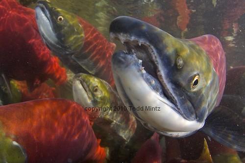 Sockeye Salmon Oncorhynchus nerka