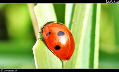 Ladybug (HavannahA28 (busy)) Tags: summer sun nature animals insect tiere sommer natur ladybug sonne insekt marienkfer bestofblinkwinners